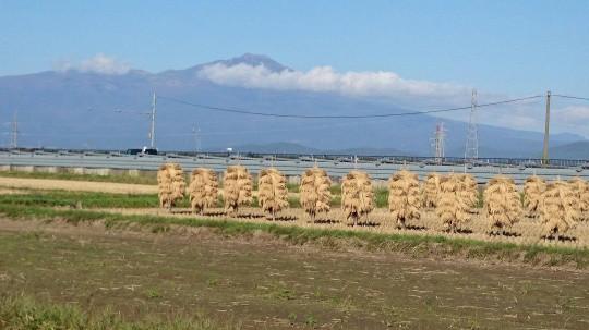 鳥海山稲刈り2014